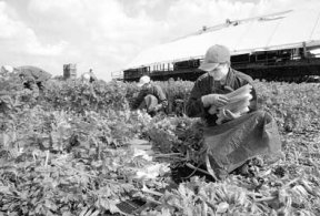 Eastern European farm workers contribute to British society